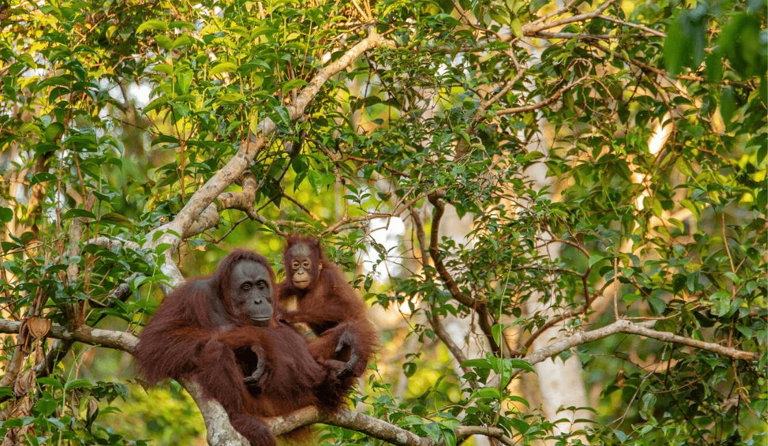 orangutanes en su habita natural