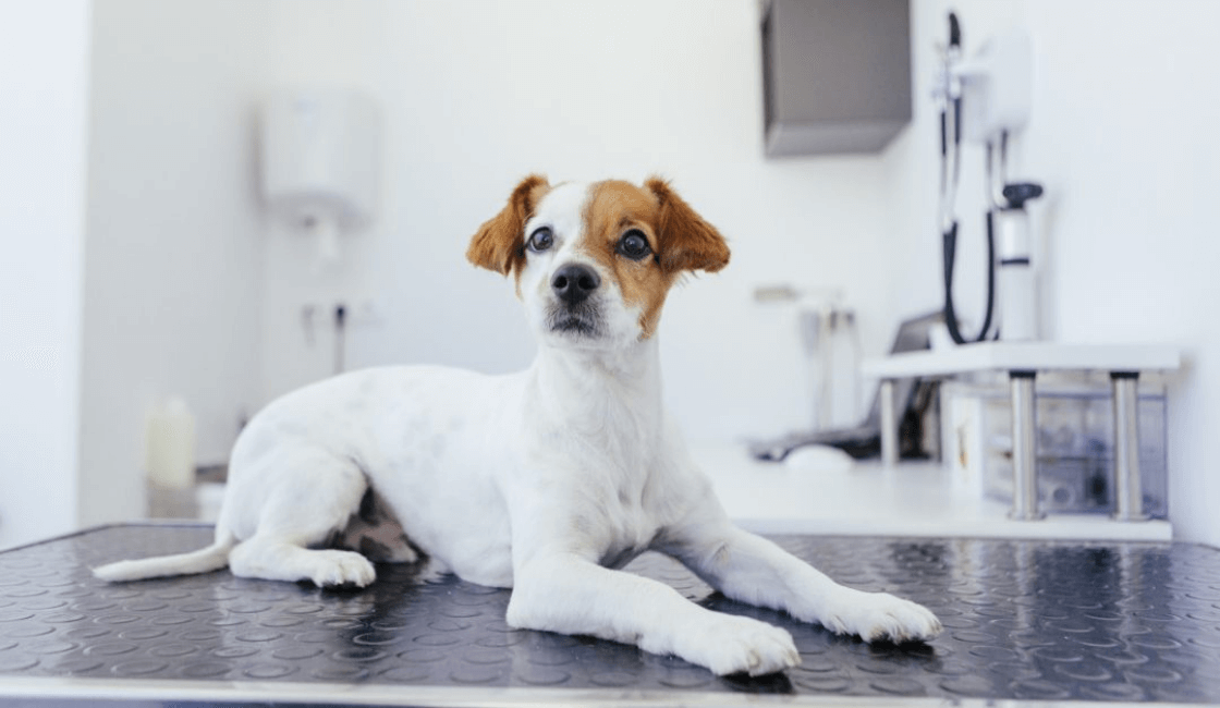 perro en veterinaria y cuidados después de castrarlo