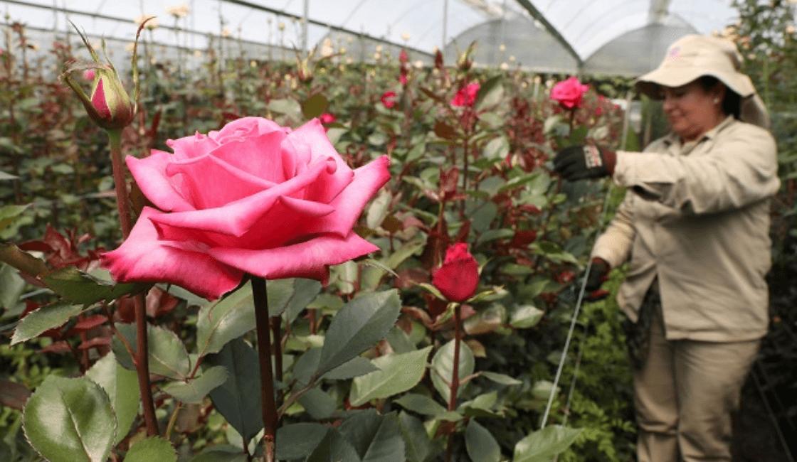Rosas en invernadero para comercio