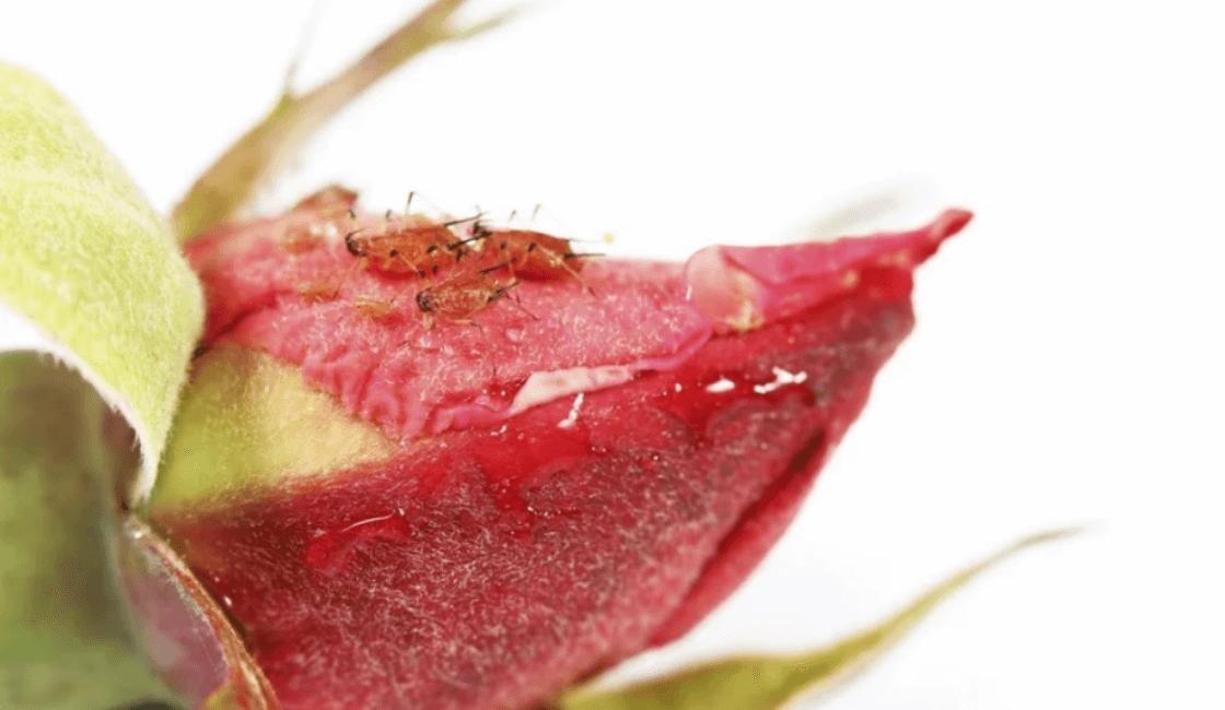 Una rosa roja con plaga