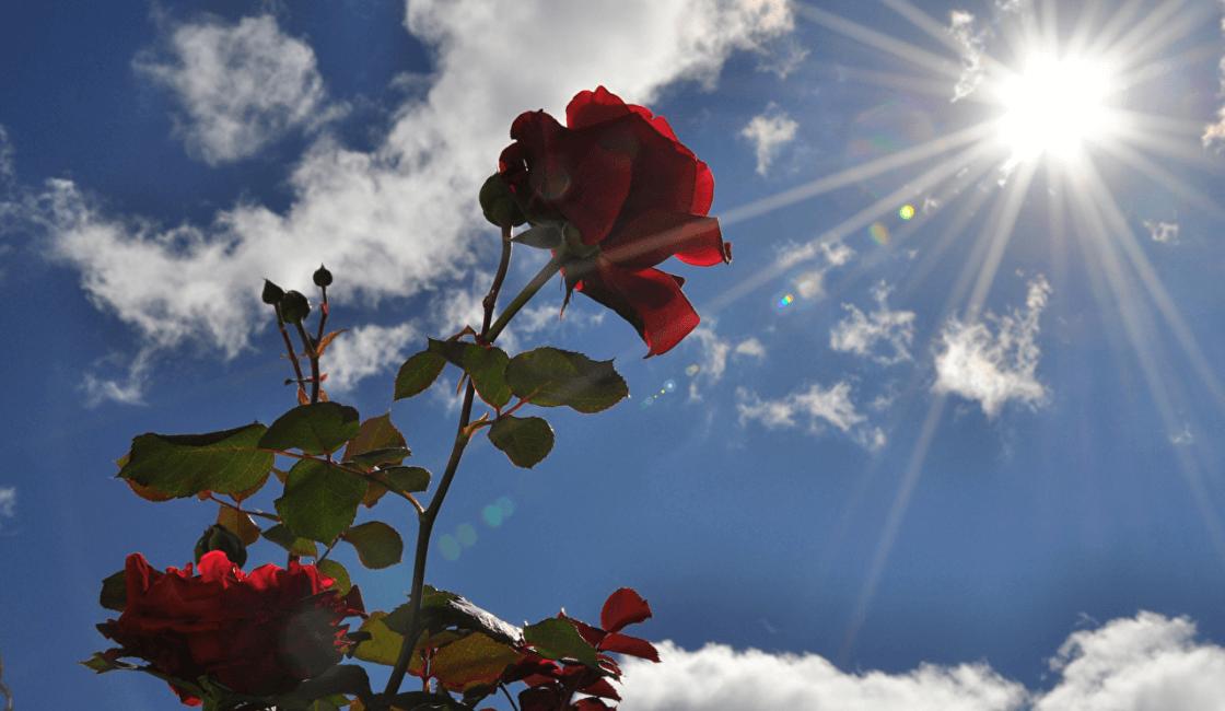 Rayos del sol sobre las rosas