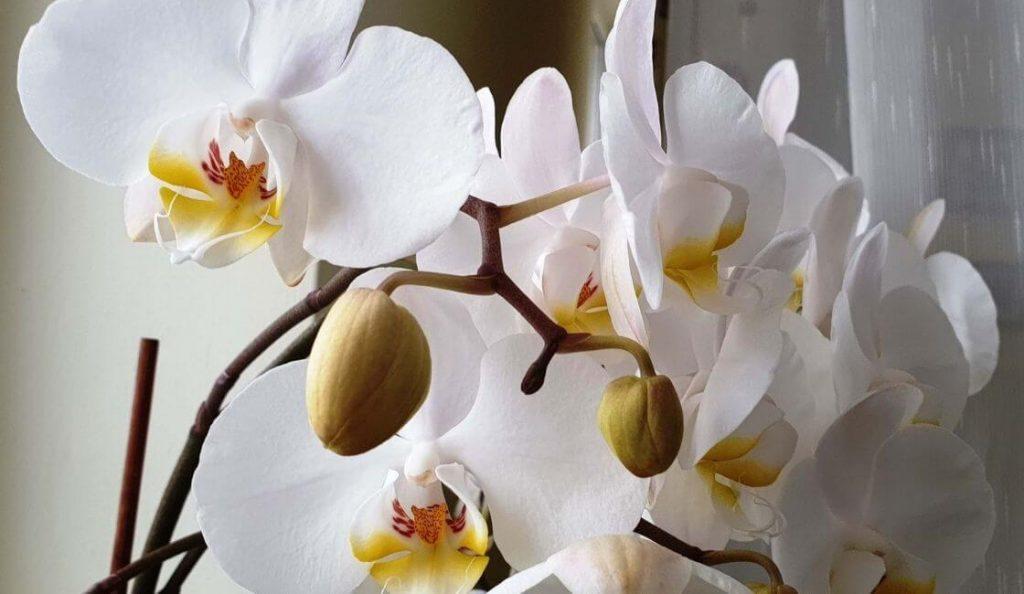 orquidea phalaenopsis blanca floreciendo con botones en casa
