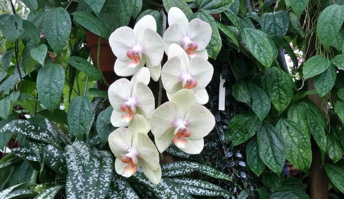 orquidea phalaenopsis blanca habitad arbol lluvia epifeta