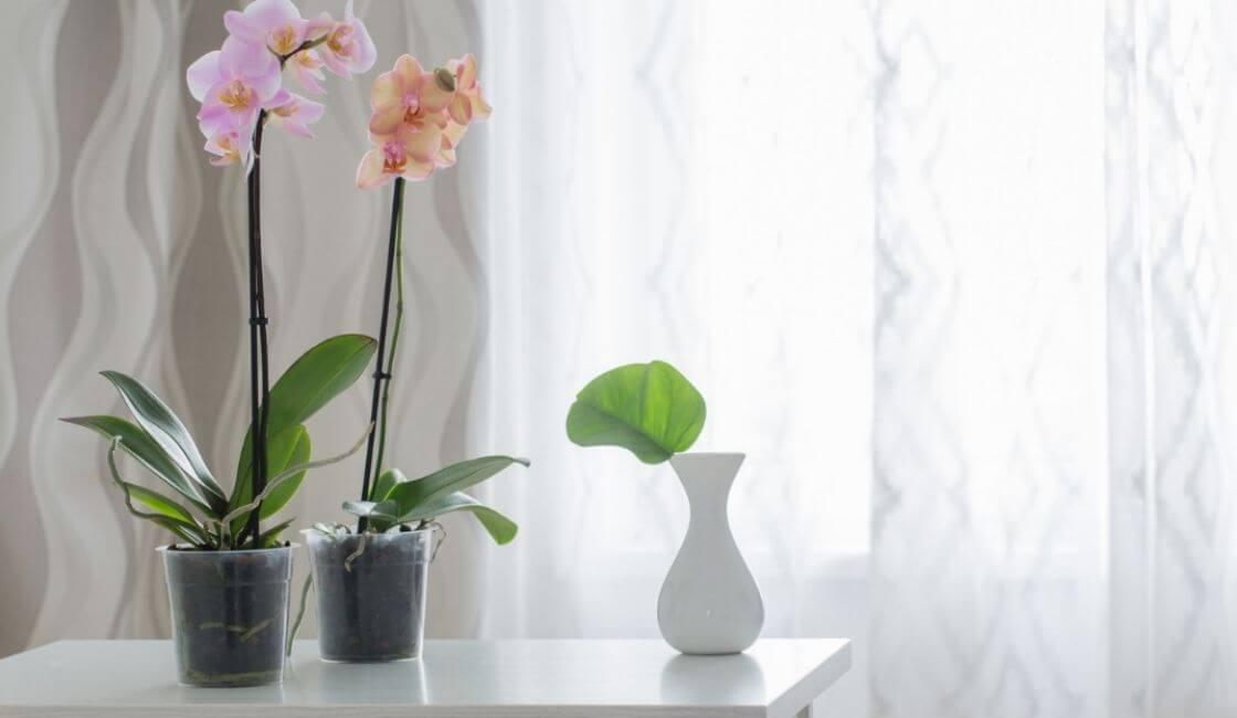 orquidea phalaenopsis en maceta de plastico transparente en casa