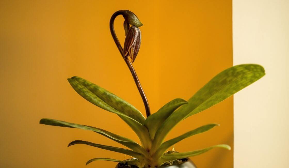 orquidea phalaenopsis etapa de recuperacion post floracion