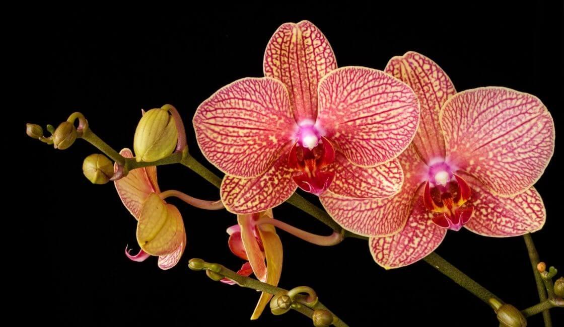 orquidea phalaenopsis rosada amarilla con botones cuidados y mantenimiento