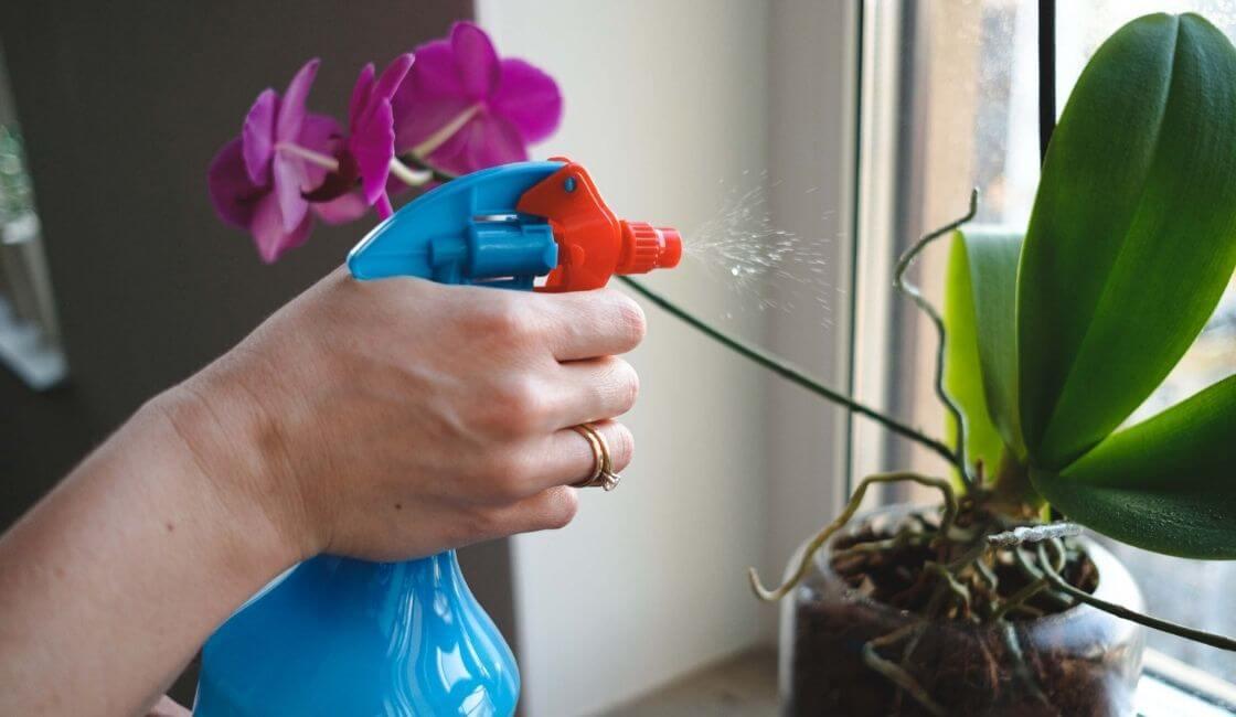 rociar agua orquidea phalaenopsis riego en casa cuidados y mantenimiento