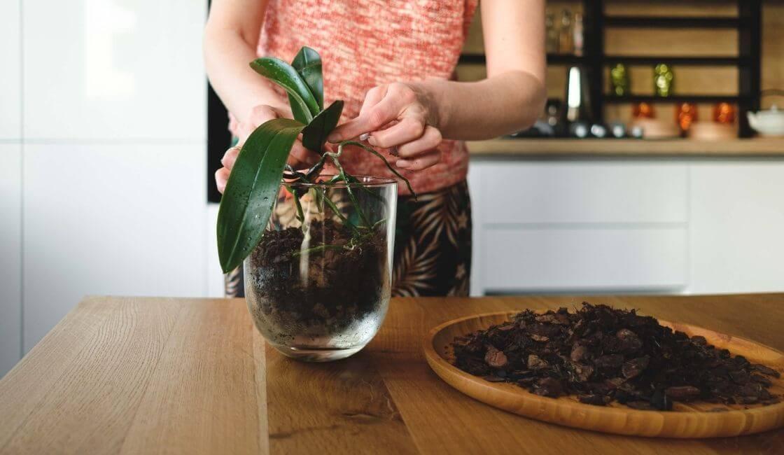 sustrato para orquideas phalaenopsis cuidados y mantenimiento en casa